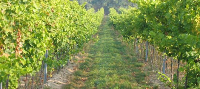 Přes 100 hektarů vinic